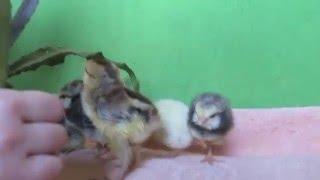Маленькие цыплята(В деревне у бабушки вылупились маленькие цыплята. Цыплята очень милые и забавные. С ними так хочется поиграть., 2016-03-13T06:58:52.000Z)