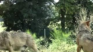 серый волк animal