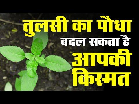 तुलसी का पौधा बदल सकता है आपकी किस्मत | Basil plant could change your luck .. !!