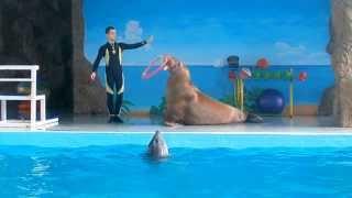 Усатый морж в дельфинарии Лазаревского