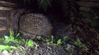 Wildlife World pindsvinehus i flet video