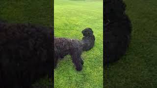 Бесякая собака  (русский черный терьер)