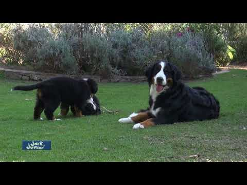 Bernés de la Montaña/Bernese Mountain Dog