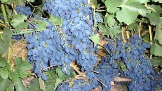 Виноград. Укрытие кустов на зиму(Укрытие винограда на зиму - является одним из главных агроприемом в зоне рискованного виноградарства. Пере..., 2015-01-09T15:04:33.000Z)
