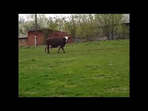 корова смеётся!