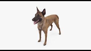 Malinois Dog Standing 3D Model