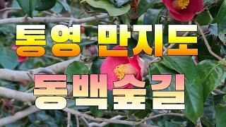 [통영만지도] 만지도 동백꽃 [통영여행] -통영맛집 통…