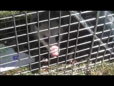 How To Get Rid of Possums / Opossums (Naturally and Non
