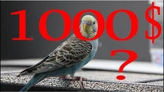 Как Заработать Пять Долларов в День. 26.продать Волнистого Попугая за 100000 США?