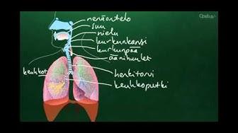 Hengityselimistön anatomia