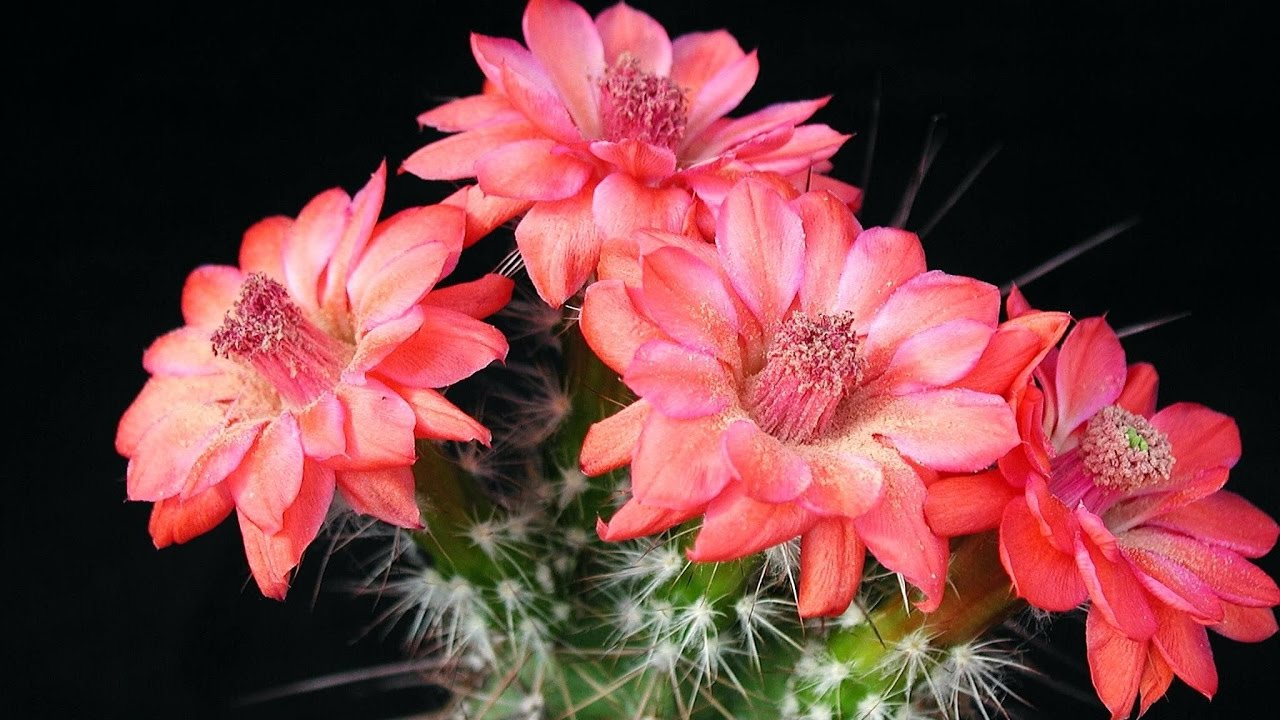 Amazing And Most Beautiful Cactus Flowers Images Youtube