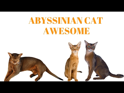 ABYSSINIAN CATS Are Awesome: ABYSSINIAN CATS Life Compilation