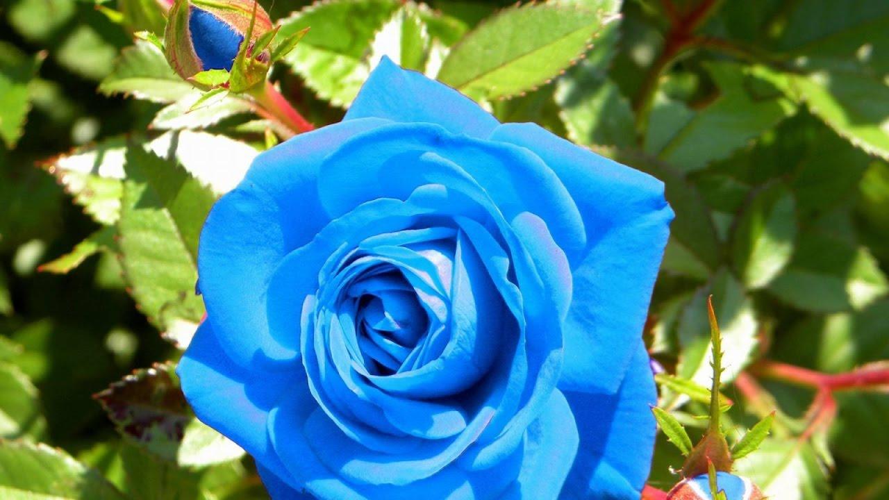 Можно ли розы садить осенью