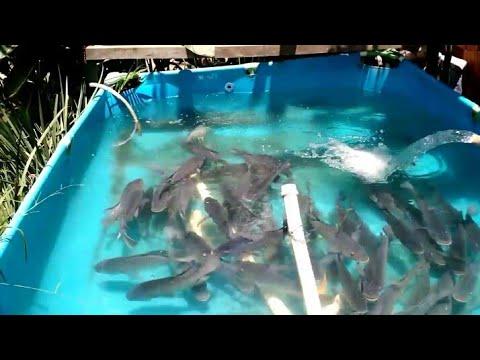 Ingin budidaya ikan terutama ikan lele tapi biaya membuat kolam mahal. tenang aja temen-temen. temen.