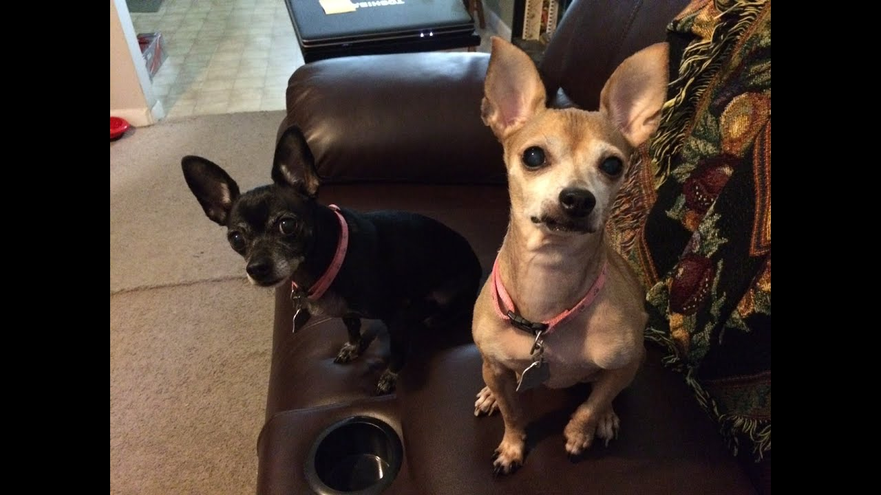 This Chihuahua Puppy Who Thinks Shes A Goat is Hilariously Adorable picture