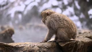 Snow Monkeys at Jigokudani Monkey Park