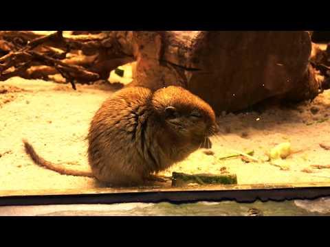 11. Januar 2018. Erlebnis-Zoo Hannover. Fette Sandratte.
