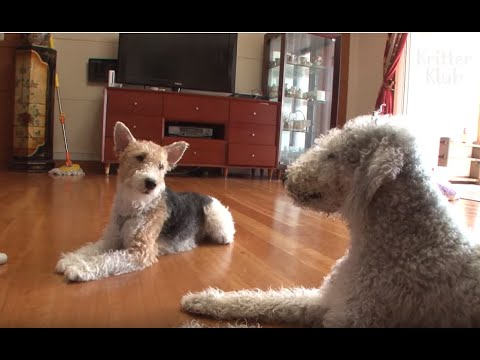 Everyone Needs A Bedlington Terrier And Fox Terrier Dog Together | Kritter Klub