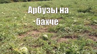 Вот так растут арбузы