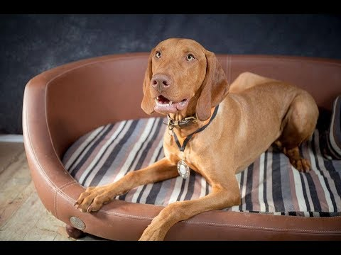 Nelson - Hungarian Vizsla - 3 Weeks Residential Dog Training