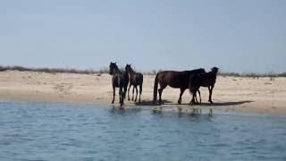 Черное Море дикие лошади Wild horses on an isle Black Sea