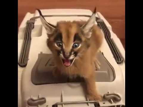 Как мяукает котенок каракала видео