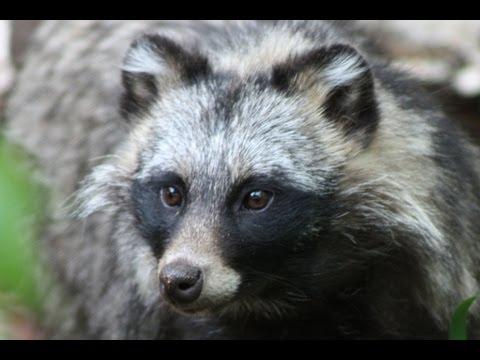 RACCOON DOG - Species Spotlight - YouTube