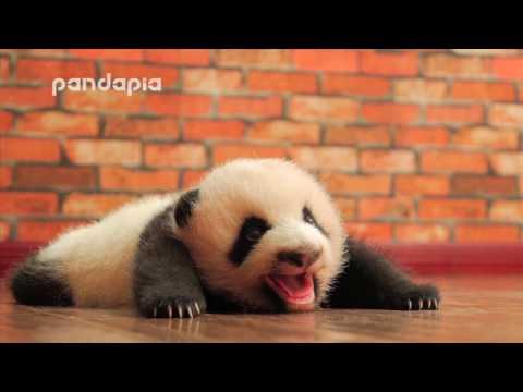 baby panda's cute voice