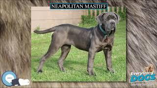 Neapolitan Mastiff  Everything Dog Breeds