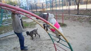 МЕКСИКАНСКАЯ ГОЛЫЕ собаки видео смотреть,  ДОМАШНИЕ животные видео ДЕТЯМ понравится