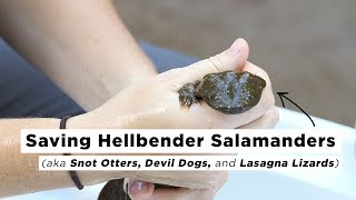 Saving Hellbender Salamanders | Joe's Big Idea | NPR