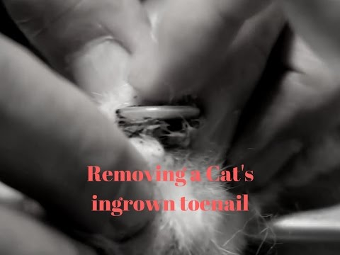 videos for cats to watch removing a cat s ingrown toenail 12434