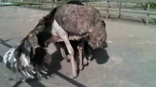Страусы ухаживают за гнездом