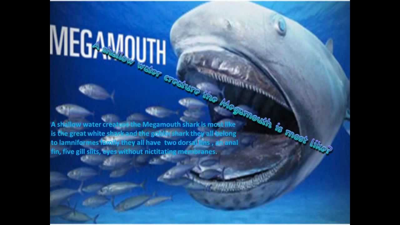 the megamouth shark youtube