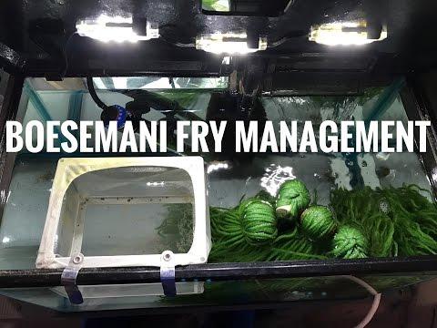 Boesemani Fry Management 4K