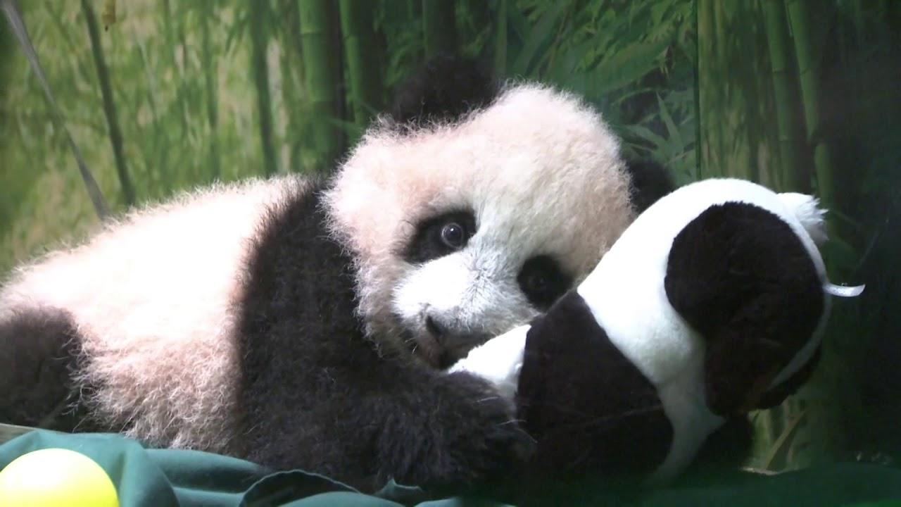 Милый и ещё милее: панда обнимает медвежонка, грызущего плюшевую игрушку