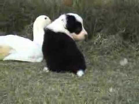 Border Collie puppies at 4 weeks old with ducks