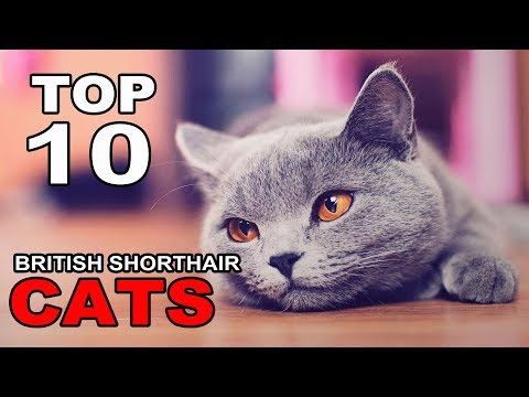 TOP 10 BRITISH SHORTHAIR CATS BREEDS