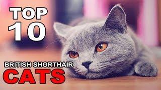 TOP 10 BRITISH SHORTHAIR CATS BREEDS