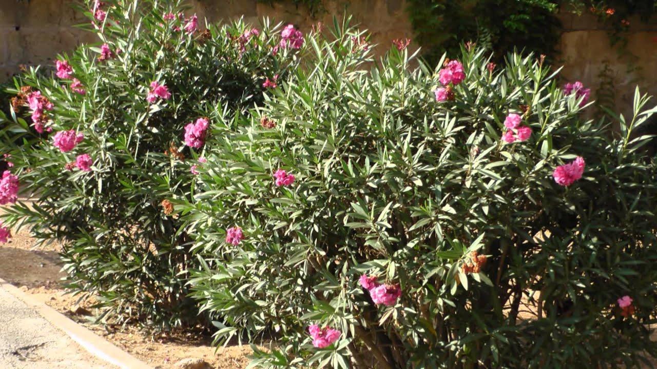 Die schnen Blumen im August auf Mallorca  YouTube