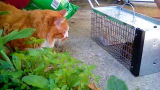 Gizmo chases a chipmunk in a cage