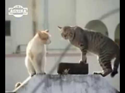 video kucing lucu banget bahasa jawa - YouTube