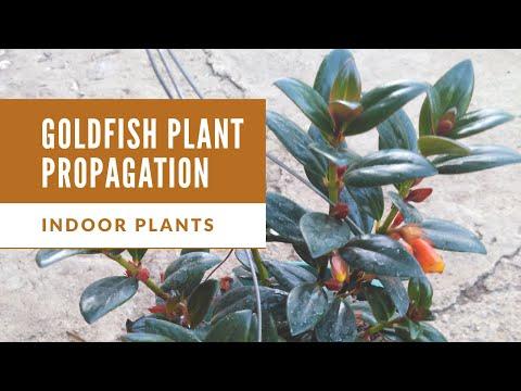 Goldfish Plant Propagation | Indoor Plants