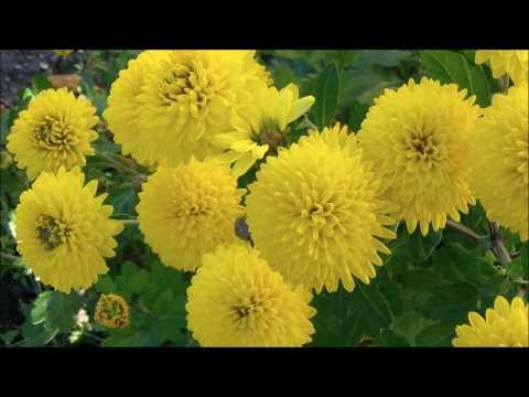 Хризантема корейская Дубок. Как купить хризантемы многолетние почтой