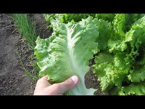 Большой салат из своих семян