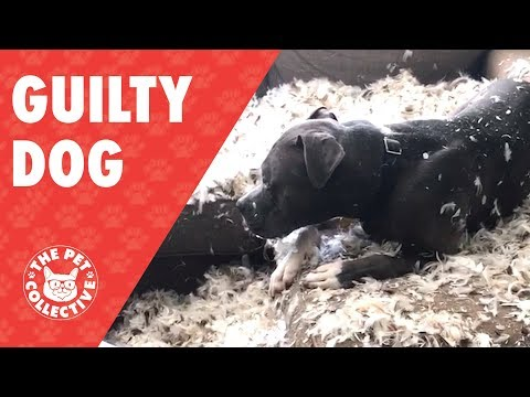 Guilty Dog Tears Up Feather Pillow