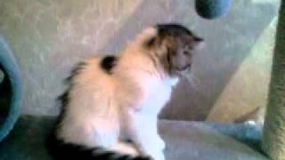 Экзотические котята питомника Candystar.mp4