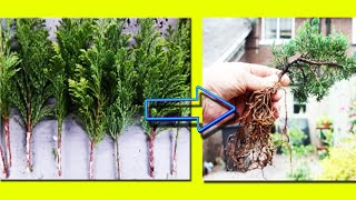 Step by Step Juniper Cutting Propagation- 100% Success, उगाएं जुनिपर कटिंग, Be The Creator, Mar.18