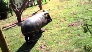 Hippo vs mandrill