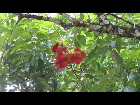 Fruits Of Balik Pulau Sungai Pinang Penang DSCN0989DurianRambutan2013 .avi